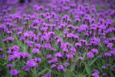 verbena rigida - bright, jewel like verbena, good amongst herbs on the sunny side.