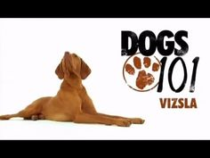 ▶ DOGS 101 - Vizsla [ENG] - YouTube