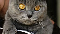 goregeous Gray cat,