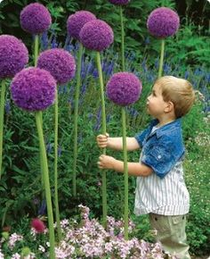 Allium Gladiator - I want these in my yard!!! And instead of a fairy house... a LORAX house!!! Oh, I'm going to go so overboard with this! - $25 per bulb... If anyone can find a good deal on the bulbs please let me know through the comment feed!