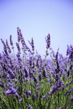 Lavanda y 8 hierbas con flores hermosas y de gran sabor Growing Lavender, Lavender Flowers, Purple Flowers, Wild Flowers, Beautiful Flowers, French Lavender, Flowers Nature, Spring Flowers, Lavender Meaning