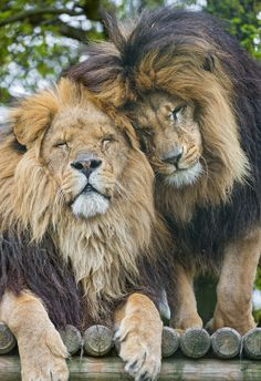 A really apparently cute scene: both lion brothers snuggling!