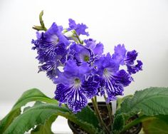 Streptocarpus Lacoste (Kabanovoy / Trofimenko) - arived May 18th in large shipment of plants.