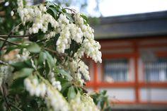 kyoto / あせび(馬酔木)と下鴨神社 京都