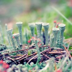 """Woodland Nature Photography Print """"Pixie Cup Lichen"""""""