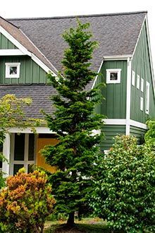 A slender evergreen that will fit perfectly in any landscape - The Slender Hinoki Cypress is a narrow, upright growing evergreen tree that is perfect for foundation plantings around your home and for framing entry ways. By only getting 4 to 5 feet wide this cypress can fit anywhere.   You can accent your home with a tree that doesn't grow too large,...