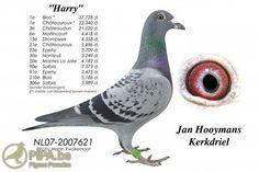 racing pigeon from belgum - Google Search