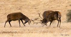 Berrea de ciervos / Deer rutting