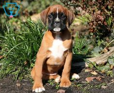 Boss | Boxer Puppy For Sale | Keystone Puppies
