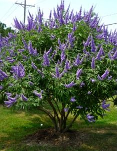 Vitex – aka Chaste Tree - this is in my front yard.  I love this tree  Grows well in Texas!
