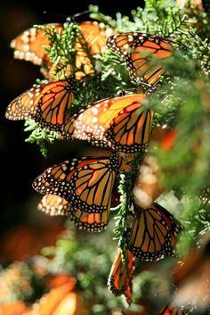 """https://flic.kr/p/4CcnK8   MONARCH BUTTERFLY   San Jose del Rincón, Mex.- Mariposas Monarca """"Danaus Plexippus"""" que invernaron desde finales del mes de Noviembre en los bosques de oyamel del santuario de La Mesa en San José del Rincón (a 150 kilometros al poniente de la ciudad de Mexico), iniciarán el viaje de regreso de mas de 5 mil kilometros hasta la región de los grandes lagos en Canada. Los insectos permanecieron por más de cuatro meses en la reserva de la biósfera de conservación en los…"""