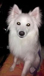 JO JO is an adoptable American Eskimo Dog Dog in Saint Louis, MO. JoJo is a very sweet 10 month old American Eskimo dog.� He�is a very active Eskie and LOVES to play with other dogs.� JoJo is ready fo...
