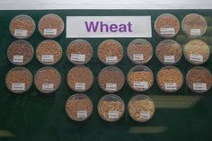 Wheat Varieties Displayed at The International Center for Agricultural Research in the Dry Areas (ICARDA) Diversity, Research, Display, Grains, Trust, Garden, Food, Search, Floor Space