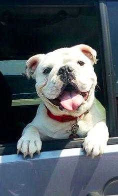 "#English #Bulldog ❤ ""Hi there!"""