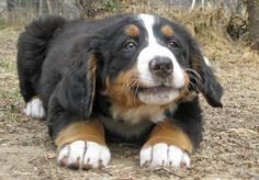 Sadie the Bernese Mountain Dog Pictures 765424 (look at the size of her paws) Entlebucher, Baby Animals, Cute Animals, Swiss Mountain Dogs, Puppies And Kitties, Dog Boarding, Bernese Mountain, Working Dogs, Beautiful Dogs