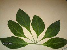 Salvia divinorum leaves.     salviadivinorumplantsforsale.com