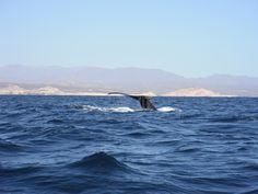 Visiting Los Cabos from December to April? Whale watching is one of the must-do tours during your vacation in Baja California, Mexico.