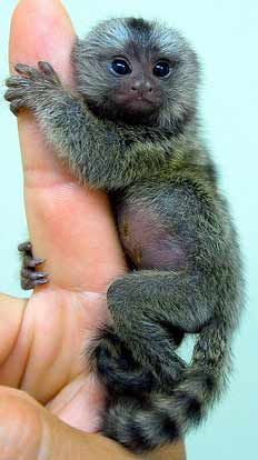 Hi, I'm Wilfred the Pygmy Marmoset aren't I cute?