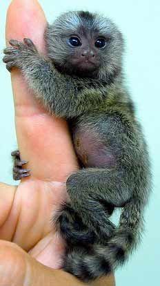 Marmoset monkey for sale, Monkeys for sale and Marmoset
