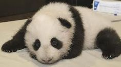 Cute Baby Panda will have its first teeth - News - Bubblews