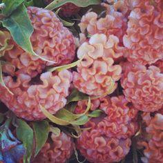 Salmon/orange cockscomb, www.LynnVale.com Photo by lynnvalestudios