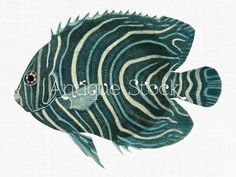 Antique Fish Drawing Koran Angelfish Illustration by Antique Stock