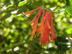 Lonicera sempervirens is native to the Southeast and Eastern United States and is a well-behaved vine that can be grown throughout Florida and features an abundance of coral colored flowers that bloom for months.