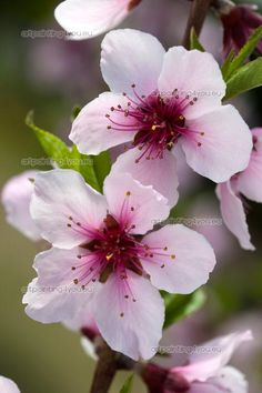 Best Indoor Garden Ideas for 2020 - Modern Peach Blossom Tree, Cherry Blossom Painting, Peach Blossoms, Blossom Trees, Blossom Flower, Flower Petals, Flower Art, Spring Blossom, Flowers Nature