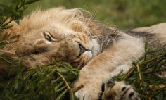 Iblis, an Asiatic lion, plays with a recycled Christmas tree in his enclosure at the Chester Zoo in England