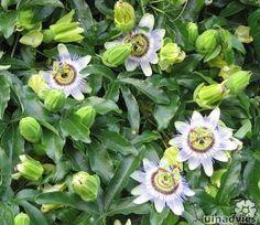 Passiflora caerulea of passiebloem: snoeien, overwinteren, stekken, zaaien - Passiflora als klimplant en kuipplant met lekkere vruchten.