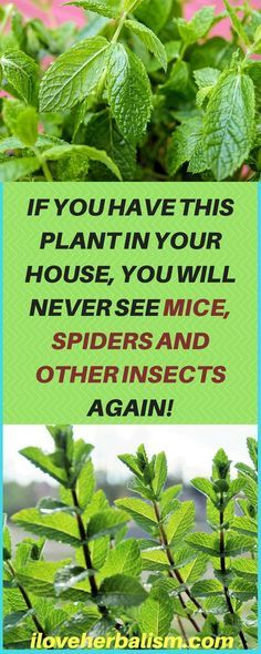 We all know how we react when we see a spider or something else in our home. Their disagreeable appearance usually generates screams and sometimes even throwing shoes in the majority of the persons. We all respect nature, but we do not want spiders near our family, or a cockroach poking our food. This article is going to present you a fantastic natural repellent of insects. It is 100 free of the toxins that insecticides in TV/radio commercials usually contain and almost always end up…