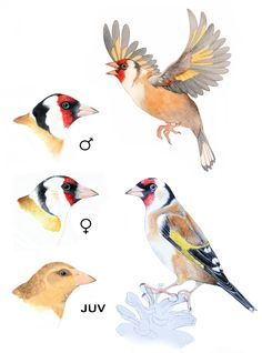 euminee: Probably the final piece will be something like this. I need to put some extra information but you can get an idea of how it will be.There's a comparison of the head of a male goldfinch, a female and a juvenile (4 months old). And drawings of two adults.Hope you like it! c: