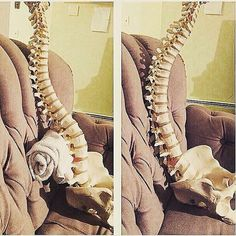 All three normal back curves should be present while sitting! . #physiogram #physioworld #physicaltherapy #physicaltherapist #physiotherapy #physiotherapist #physio #DPT #PT #DPTstudent #PTstudent #DPTschool #PTschool #superphysio #posture #sittingposture #lowback #spine #musculoskeletal #spinalcurvature #backcare cred @adiperfecto