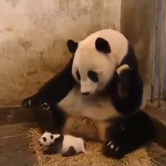 Baby Panda Sneezing Scares His Mom! Haha, watch Baby Panda Sneezing Scares his Mom ! The momma panda's reaction is priceless! Who would've thought a thing that small could make a sound that. Animal Jokes, Funny Animal Memes, Funny Animal Pictures, Funny Gifs, Funny Memes, Cute Little Animals, Cute Funny Animals, Cute Dogs, Cute Gif