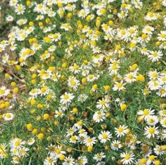 Chamomile Seeds - Irish Plants Direct