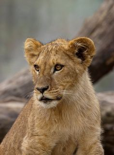 Small Lion by Nicklas Byriel