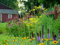 A colorful perennial garden border in midsummer, with a split-rail fence and red barn in background
