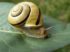 striped snail shell shows off the spiral Snail Shell, Did You Eat, Snails, Spirals, Haiku, Writings, Poem, Image, Dinner