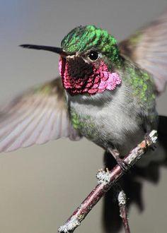 Ruby throated Hummingbird by Dana Bechler