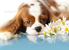 King Charles Cavalier Spaniel Pictures | con gli occhi tristi spaniel, cavalier king charles spaniel cane —
