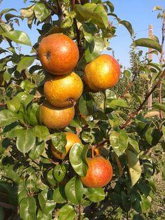 I frutti del pomario - autunno 2014