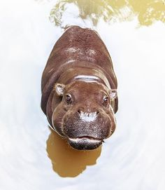 Sup?! I'm an adorable baby hippo, and I'm here to make you happy.