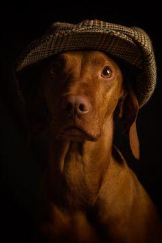 Yorkshire Lass Vizsla by photographer Jacqui Wakelam