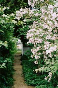 blooming Crape Myrtle
