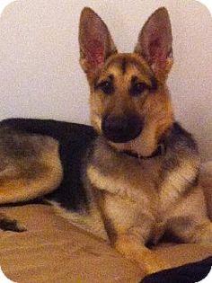 Adopt a Pet :: Samantha - valparaiso, IN - German Shepherd Dog