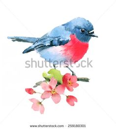 Watercolor Spring Pink Robin On Cherry Blossoms Branch Hand Painted isolated on white background - stock photo