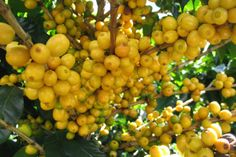 Conab announced that production in the 2017-18 crop cycle is estimated to reach between 43.65 million and 47.50 million 60-kilogram bags of coffee.