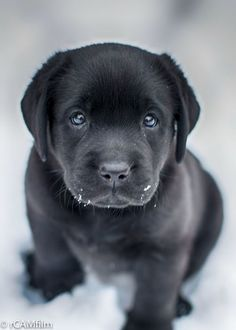 Mind Blowing Facts About Labrador Retrievers And Ideas. Amazing Facts About Labrador Retrievers And Ideas. Black Lab Puppies, Cute Dogs And Puppies, I Love Dogs, Doggies, Corgi Puppies, Cute Baby Animals, Funny Animals, Hairless Animals, Most Popular Dog Breeds