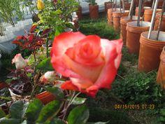 Nos encontramos en otoño, pero estas rosas empiezan a florecer?...de largo hasta la primavera.