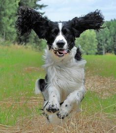 Springer springing-They fly!!!!!